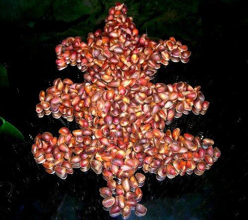 Кедровые орехи и шишки