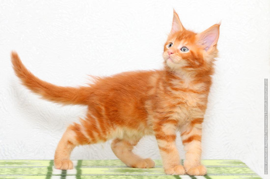 красный котенок Мейн-кун фото питомник в Москве