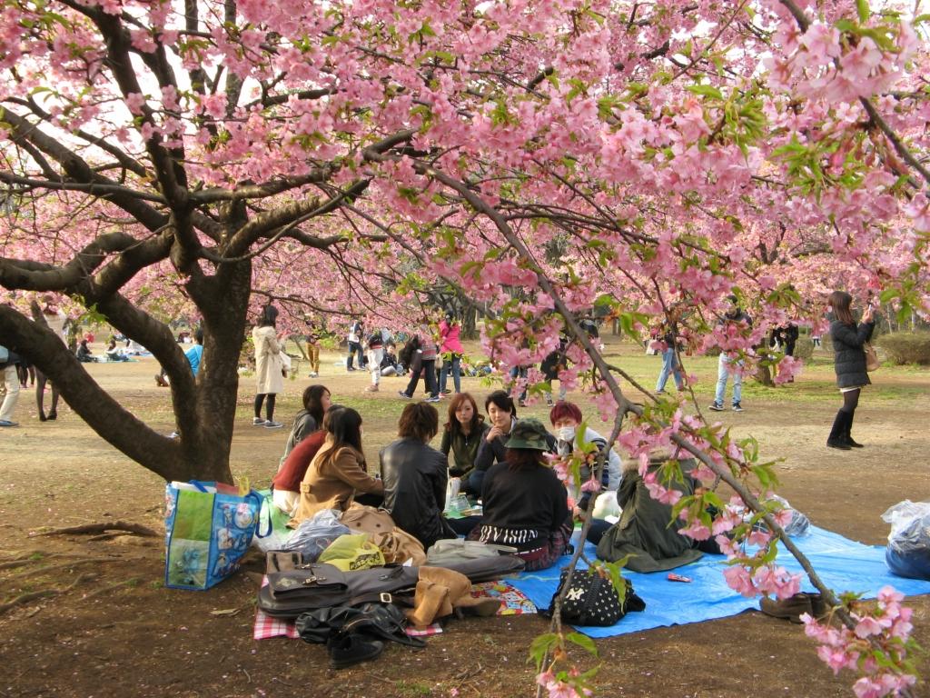 Цветение слив - умэ в Японии
