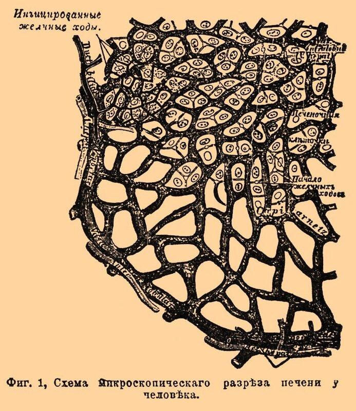 1. Схема Микроскопического разреза печени у человека.  Сосуды печени располагаются весьма правильным образом...