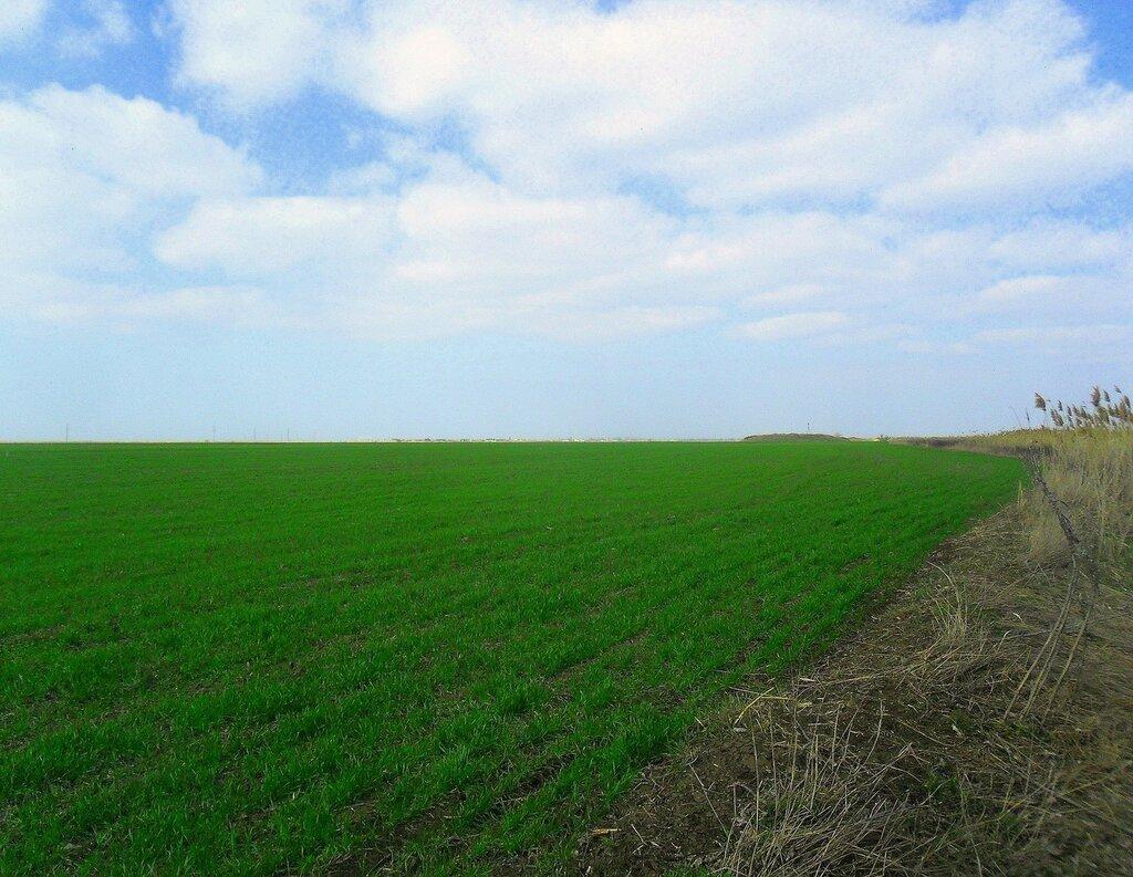 Поле зеленеет под небом голубым... SAM_5811.JPG