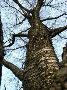 Берёза жёлтая (Betula alleghaniensis)Альбом: лесные растения