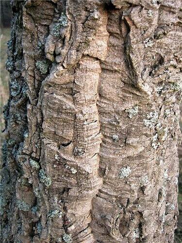 Бархат амурский (Phellodendron amurense) Автор: Лариса Петрович