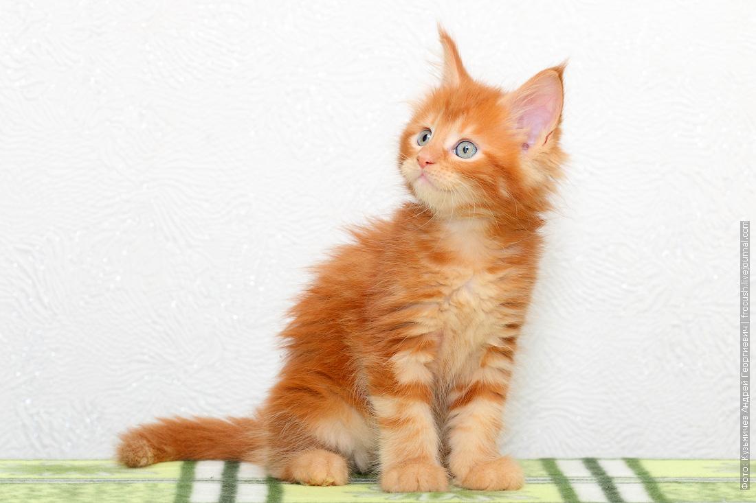 продам в Москве красный котенок Мейн-кун