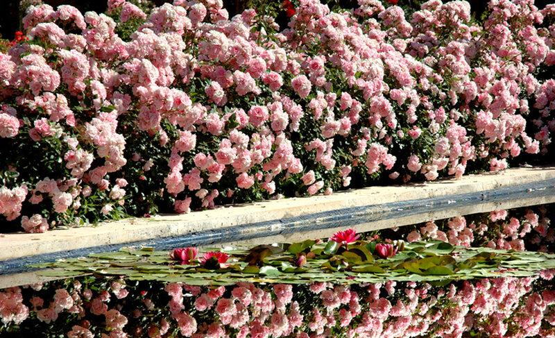 Плетистая роза в ландшафтном дизайне 5