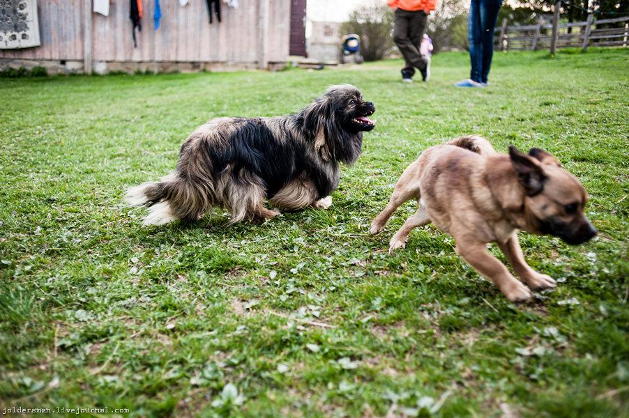 собаки в деревне