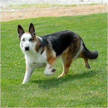 Необычные собаки - миксы пород и редкие окрасы 0_6e5c4_1129b7a5_L