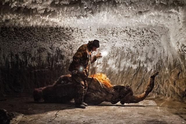 Добыча бивней мамонтов в Сибири