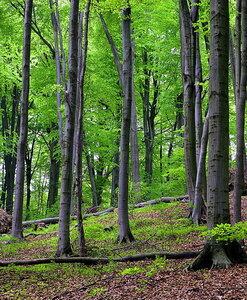 """Буковый лес заповедника """"Расточье"""""""