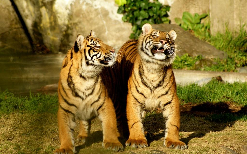 30 невероятных фотографий тигров