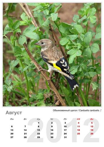 Календарь «Птицы 2012» Август - Обыкноценный щегол / Carduelis carduelis (молодой самец)