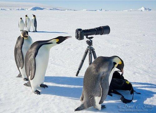 Как фотографируют пингвины