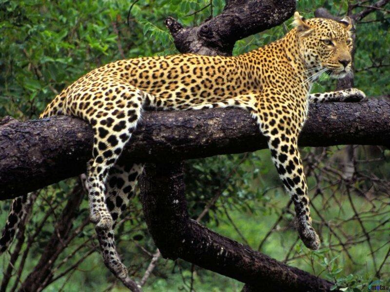 Леопард на ветке дерева.