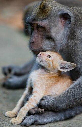 В Индонезии стая макак усыновила котенка