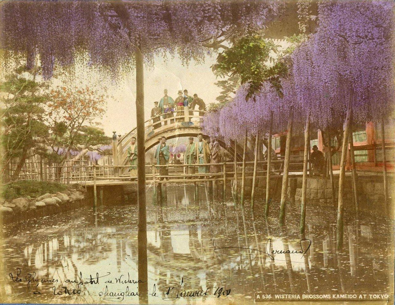 Токио. Цветение глицинии в Камейдо