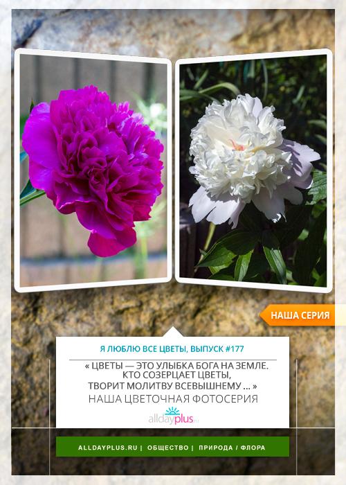 Я люблю все цветы, выпуск 177 | Пионы.