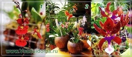 Выращивание орхидей онцидиумов и уход за ними