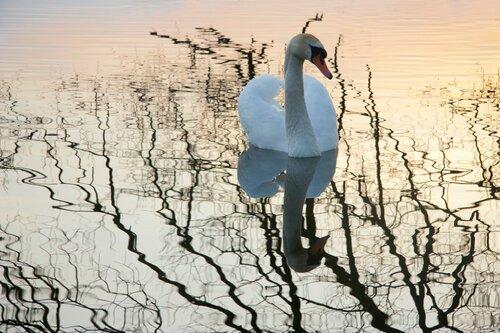 Лебедь и вечер