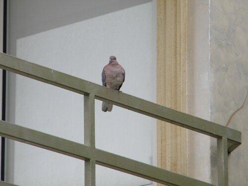 то ли голубь, то ли горлинка