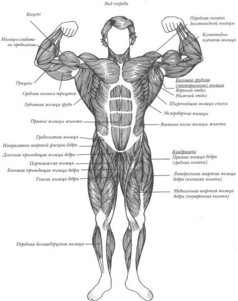 Анатомия как правильно рисовать человека
