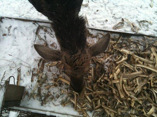 Молодой лось ест осиновую кору