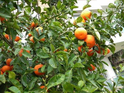 просто апельсины