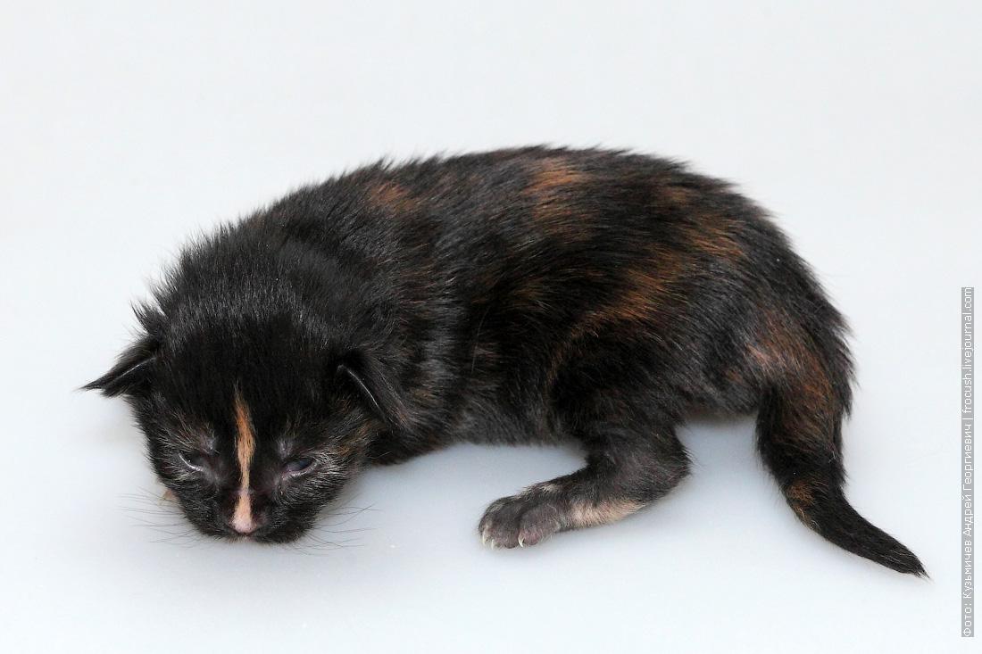 1 неделя котенок мейнкун