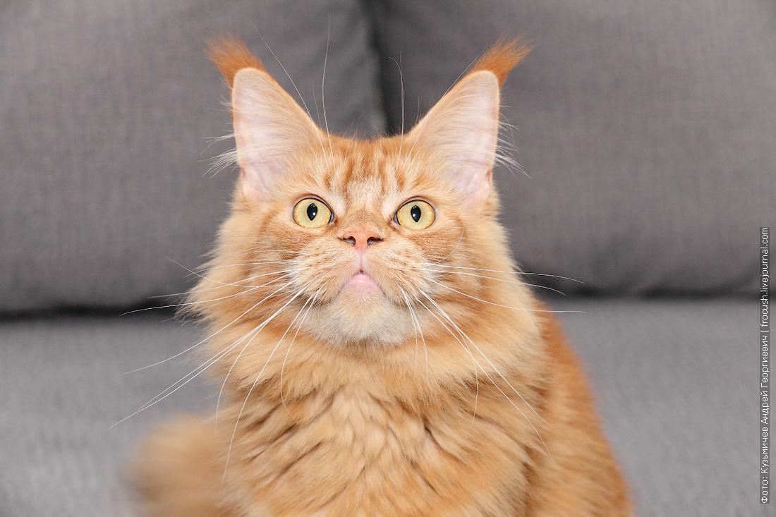 красная кошка Мейн-кун
