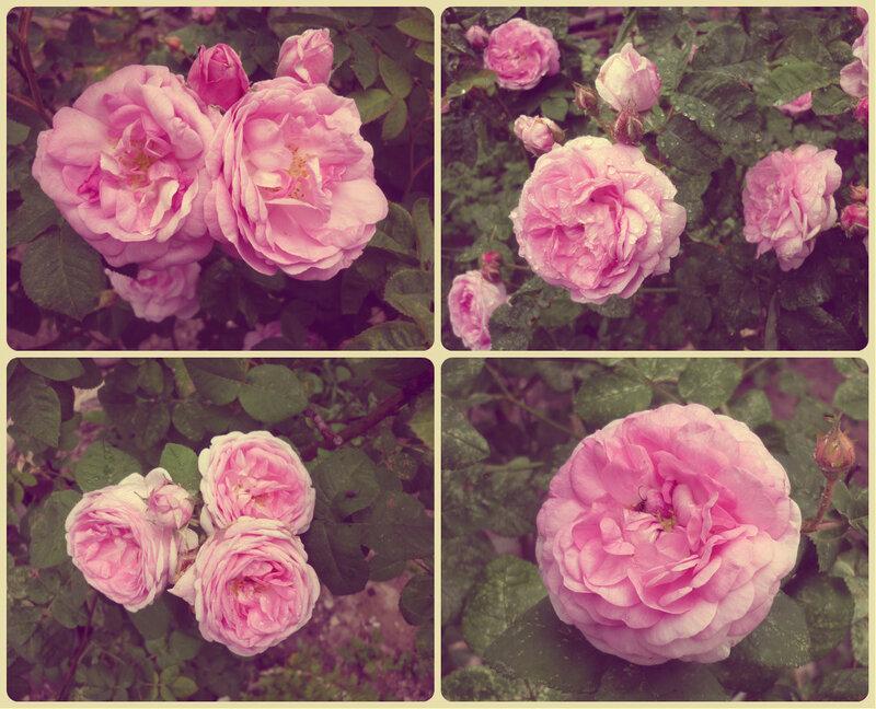 розы коллаж1.jpg