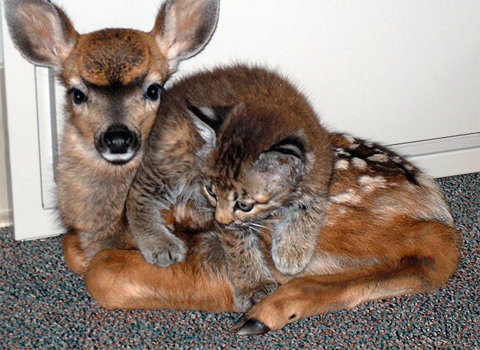 котенок рыси и олененок
