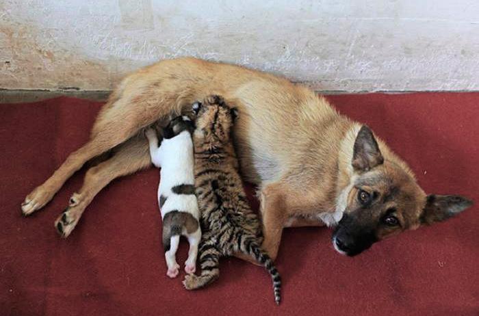 собака кормит тигренка