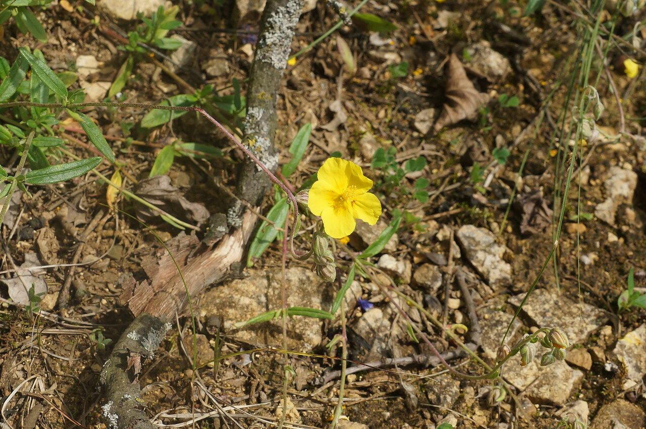 Солнцецвет монетолистный (Helianthemum nummularium). Автор фото: Привалова Марина