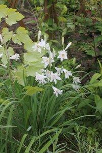 Редкие растения в наших садах - Страница 6 0_152db7_2f85d8d7_M