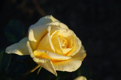Июльская роза