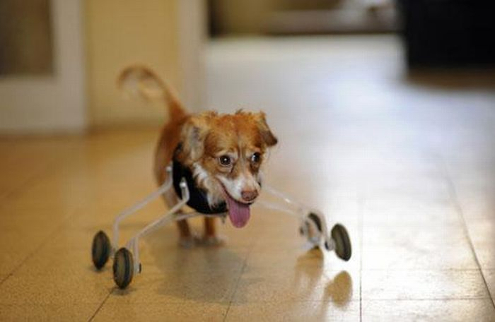 Двухлапая собака (4 фото)