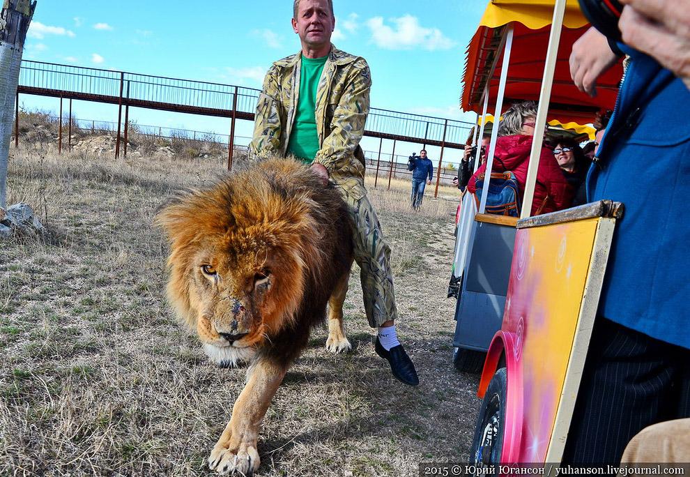 Журналистов было много, и львы заинтересовались.