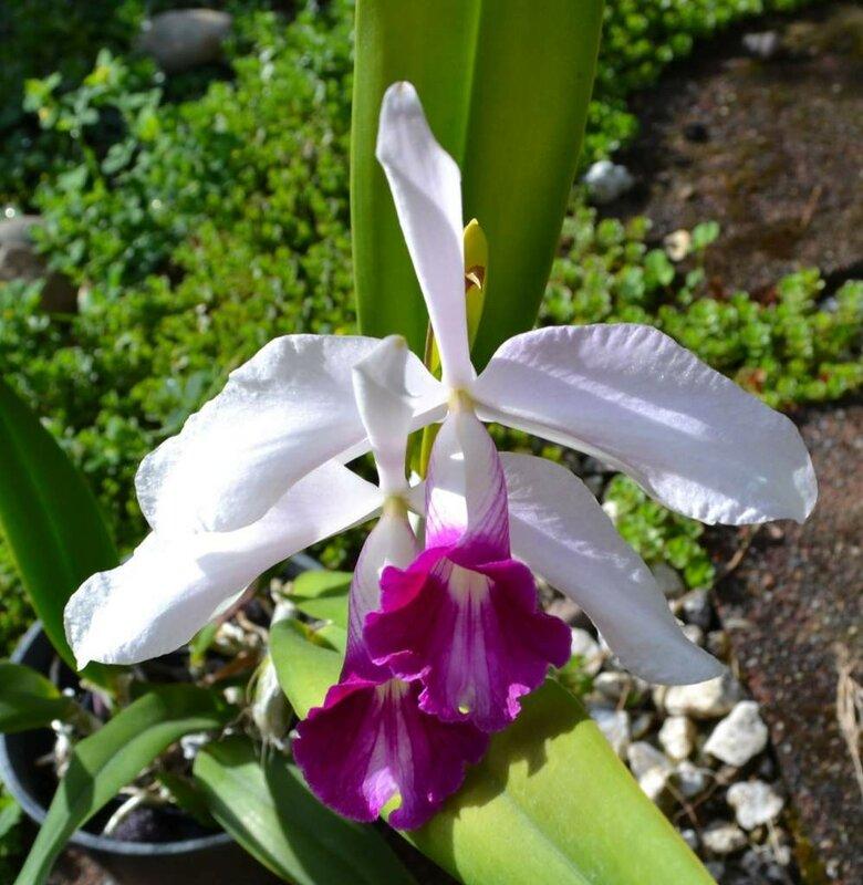 """L. purpurata var roxo-violeta X Laelia purpurata """"Clara"""""""