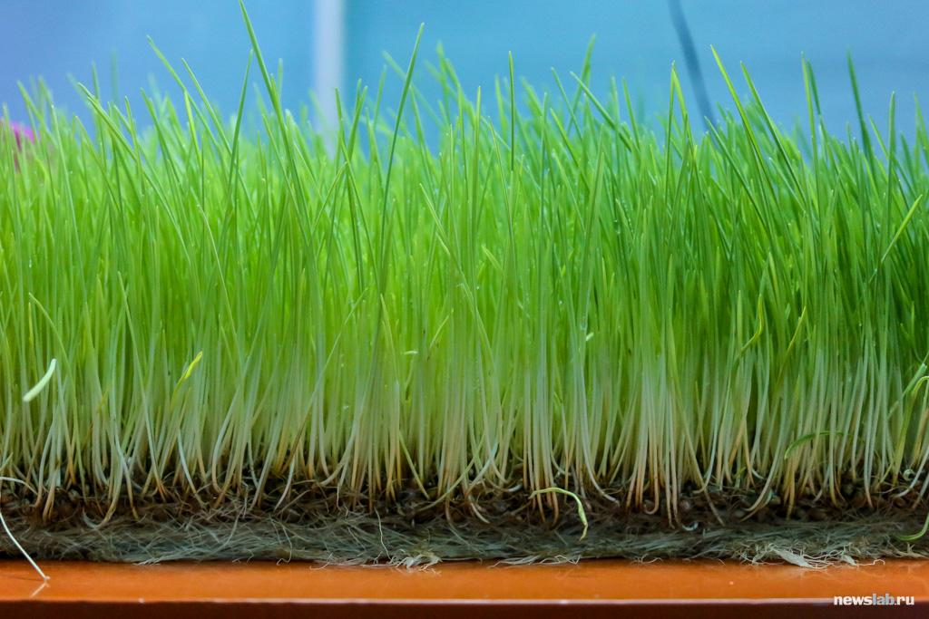 Как выращивать проростки в домашних условиях?