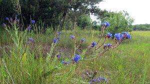 Воловик лекарственный (Anchusa officinalis)