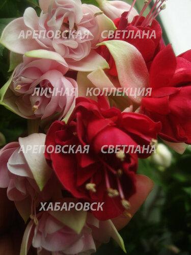 НОВИНКИ ФУКСИЙ. - Страница 5 0_15824a_d620e6a9_L