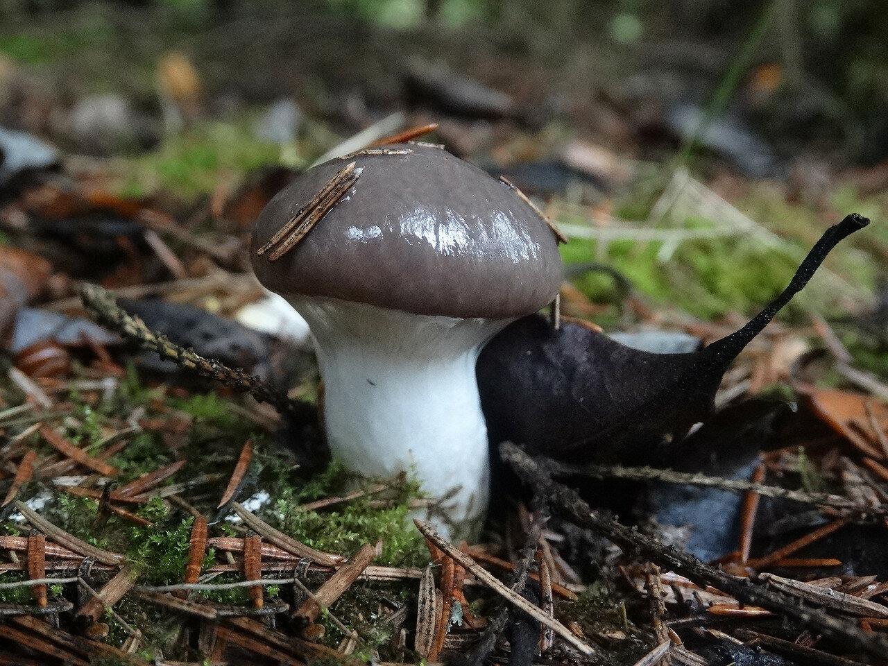 Мокруха еловая (Gomphidius glutinosus). Автор фото:Привалова Марина
