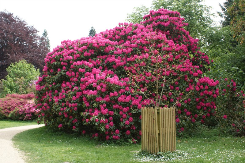 11. Рододендрон Этот неприхотливый цветок очень красив и поражает великолепием и разнообразием оттен