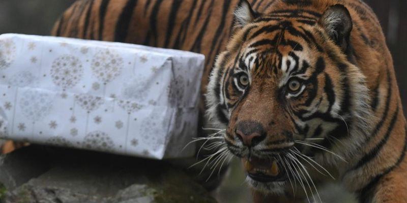 Суматранский тигр по кличке Пеп из французского зоопарка церемониться с лакомством не стал.