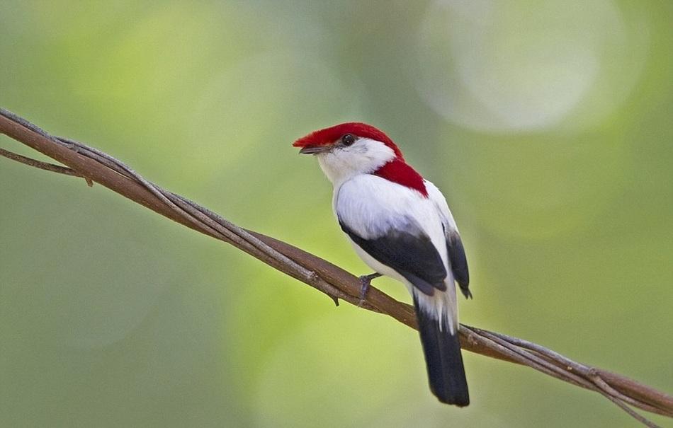 Эти птицы распространены в Бразилии, а их численность на данный момент составляет лишь 779 особей. <