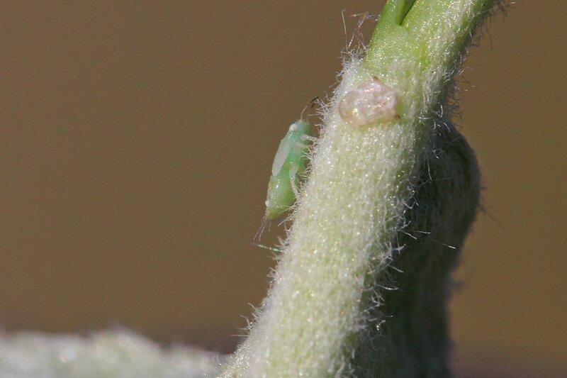 Светло-зелёная тля с белёсыми зачатками крыльев на черешке яблоневого листа