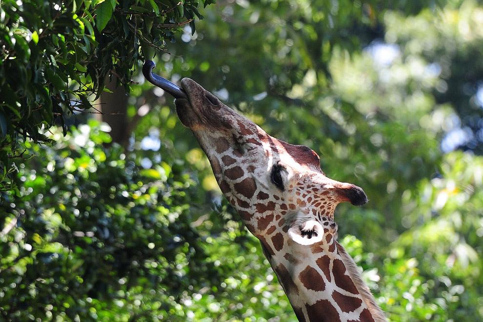Достать до небес. Жираф в зоопарке Шри-Ланки. (Фото Lakruwan Wanniarachchi)