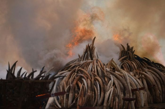 В Кении сожгли 100 тонн слоновой кости