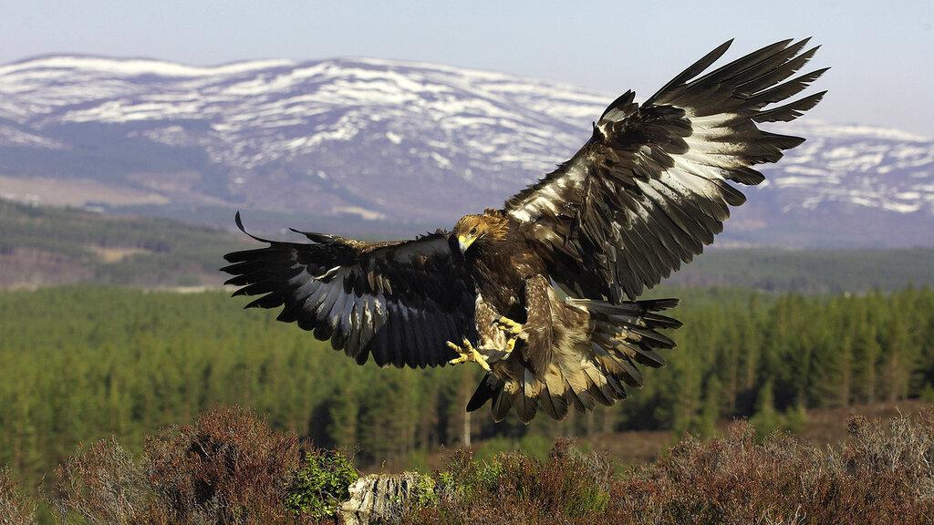 степной орёл3.jpg