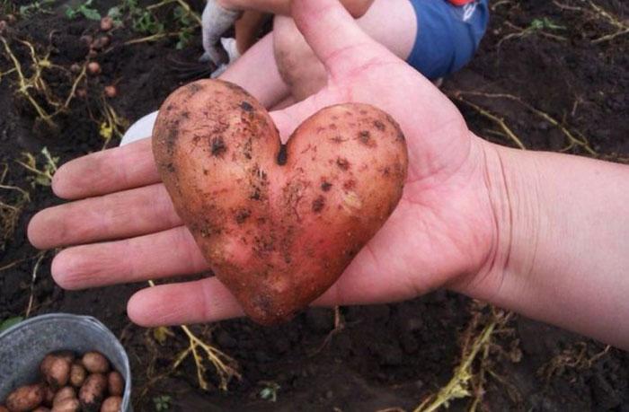 Романтичная картофелина.