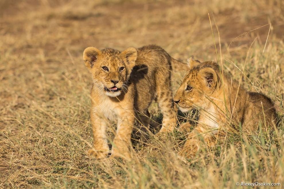 Большинство львов в нынешнее время проживает в восточной и южной части Африки, и их численность